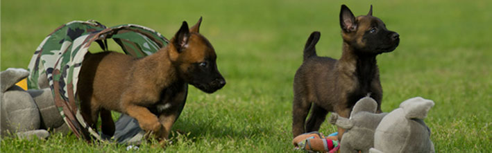 Mechelse Herder pups - Malinois puppies